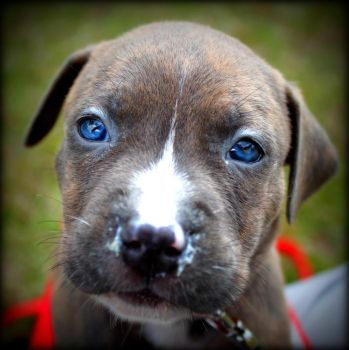 blue puppy eyes by 91stang