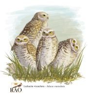 Burrowing Owls (Athene cunicularia) by PicuiDove