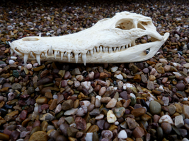Nile crocodile skull by ghostwolfen