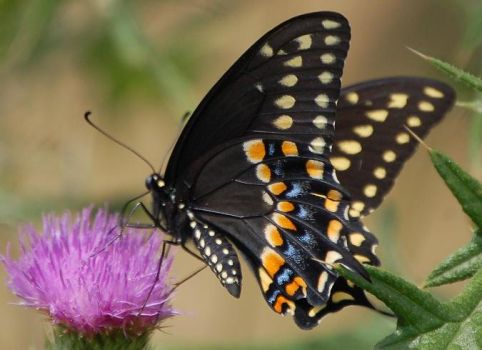 Bairds Swallowtail - Yellow 5 by WhisperintheStorm