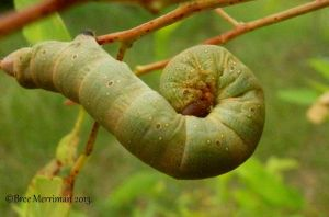 Caterpillar II by BreeSpawn