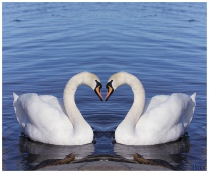 swans? by Altrial