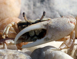 Fiddler Crab 002 by Elluka-brendmer