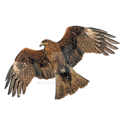 Black Golden Eagle on a transparent background by ZOOSTOCK