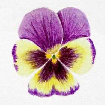 Pansy practice 07 by l-Zoopy-l