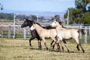 HH Iberian foals trot side view by Chunga-Stock