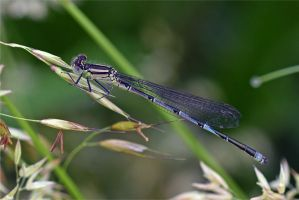 0620 Damselfly by RealMantis