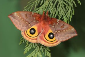 Io moth female 2 by bugalirious-STOCK