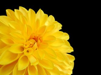 Yellow flower on black background by rhoar