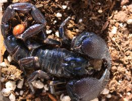 Emperor scorpion coiled by Caloxort