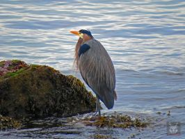 Heron In The Seaweed by wolfwings1