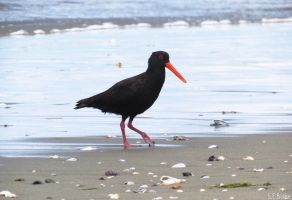 variable oystercatcher by kiwipics
