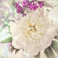 peony by a-place4my-head
