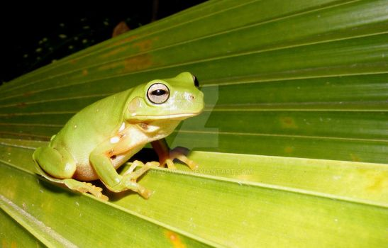Green tree frog 7 by xshadowxv