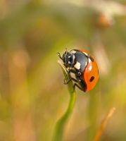 ladybug reached the top...time to turn around by clochartist-photo