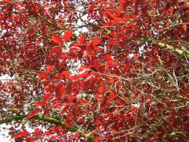Red Leafs by zommy