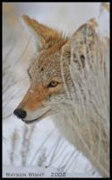 Portrait of a coyote by tourofnature