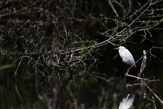 13.04.26 Snowy Egret 02 by paleypeach