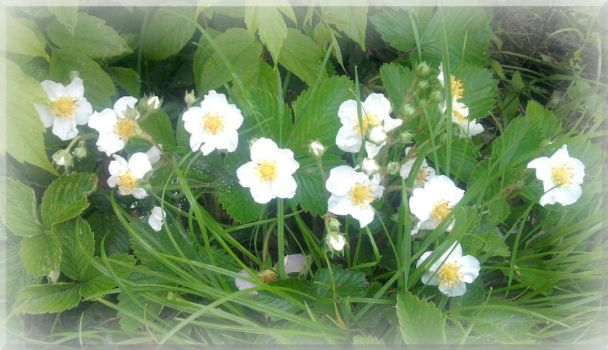 Anemone canadensis by pooh-1968