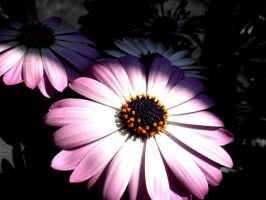 Daisys by musicismylife2010