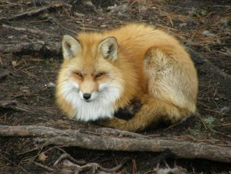 Red Fox Sitting by Fictionary