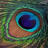 Peacock by billiejolm