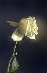 A white rose by oakenvial