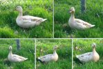 White Duck photo pack by MapleRose-stock
