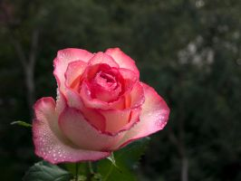 STOCK Rose 2 by Inilein