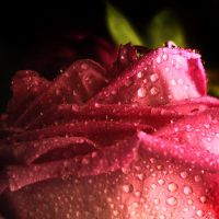 Rosa.. by gomit