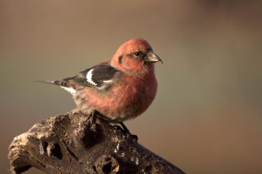 White-winged Crossbill by dove-51