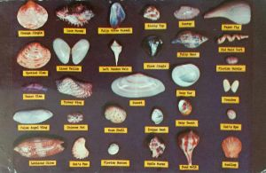 Vintage Florida - Shell Chart by Yesterdays-Paper