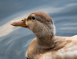 Pale Duck2 by AaronMk