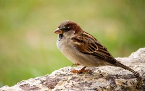 Sparrow on the Wall by ARC-Photographic
