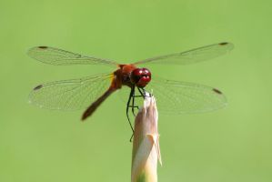 Ruddy darter by PhotoTweet