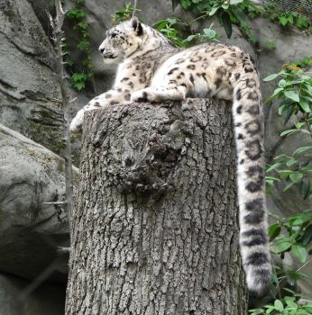 Snow Leopard Stock 36 by HOTNStock