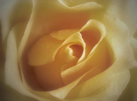 Yellow Rose by Nevma