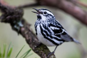 Black and White Warbler by rctfan2