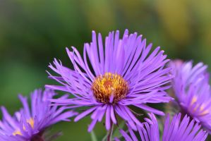 Asters by OfTheDunes