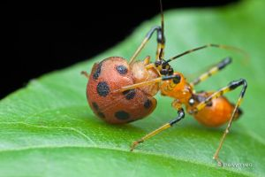 Assassin bug with Ladybird beetle prey by melvynyeo