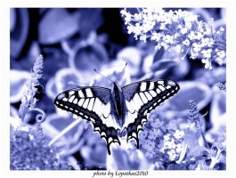 snowy butterfly.. by lopatkax