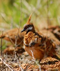 Typical Spinifex Pigeon by TypicalTash