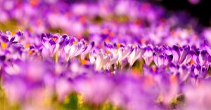 Crocuses. by Fiedka
