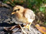 sunshine chick by parrots4life