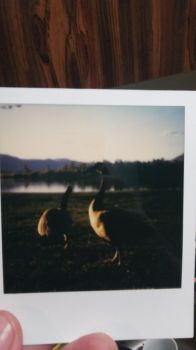 Polaroid original of geese by Displaywrites