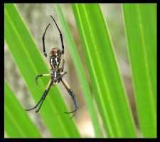 capricious Spider and Palmetto by capricious