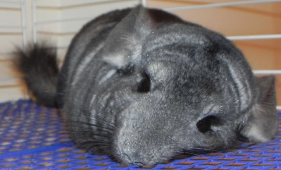 Sleepy Chinchilla by Angel2882