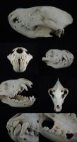 Brown Hyena Skull by CabinetCuriosities