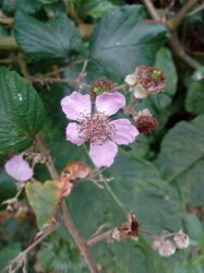Blackberry flower by GhostOfTheEmptyGrave