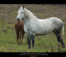 Percheron Stock 02 by Rising-High-Ranch